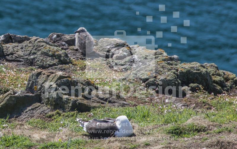 Skomer Island, Pembrokshire - Puffins, Puffins and more Puffins!