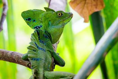 Jesus Christ lizard / Cahuita NP, Costa Rica