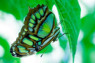Green Caterpillar / Limon, Costa Rica