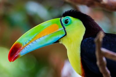 Toucan / Alajuela, Costa Rica