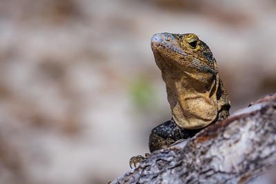 Lizard / Manuel Antonio NP, Costa Rica