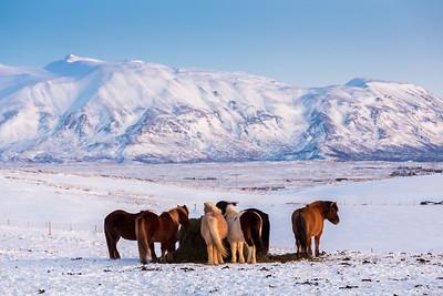 Icelandic horses / Þingvellir, Iceland