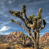 Lone Joshua Tree in Red Rock Canyon.