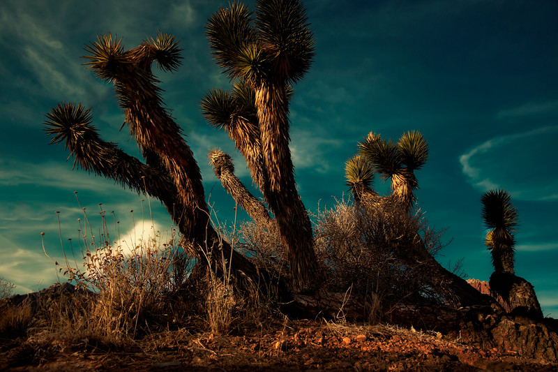 Joshua Trees Under a Turquoise sky