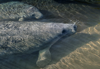 Two young manatees seek refuge from the cold.