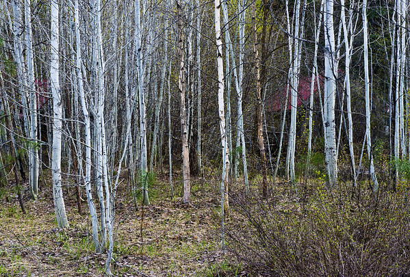 Spring aspens