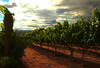 Columbia Valley vineyard, summer