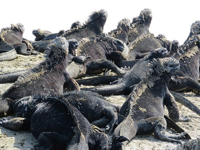Marine iguanas sunning themselves on the rocks.