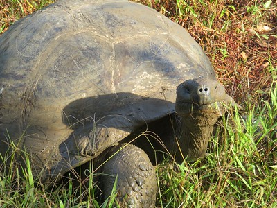 Our last stop in Galapagos was a visit to the Highlands of Isla Santa Cruz to see land tortoises.