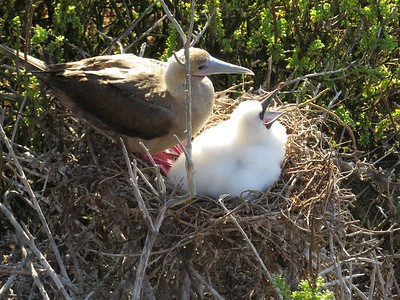 Red-footed booby chick and mom.