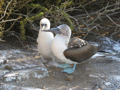 Blue-footed booby chick and mom.
