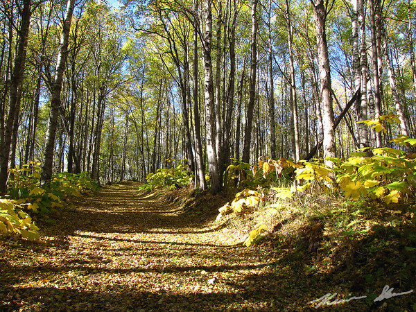 Fall colors along the trail in Kincaid Park