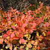 Fall colors in the tundra plants along the trails at Glen Alps