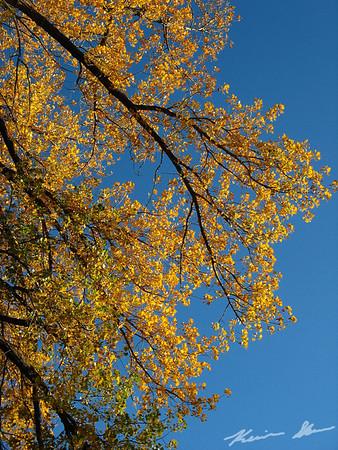 Golden leaves plastered against the sky