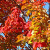 Several neighborhood maples explode in brilliant colors