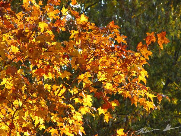 Brilliant maple in the backyard