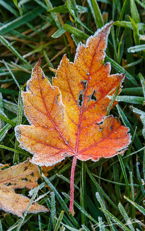 Frost-tinged maple leaves cover the ground