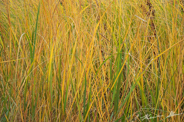 Golden grass in the late afternoon