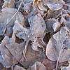 Frost tinged leaves