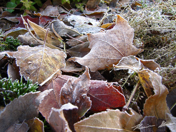 Frosty leaves blanket the ground at sunrise