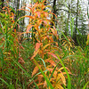 FIreweed ablaze with color as fall continues