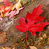 Blazing maple leaves on the ground