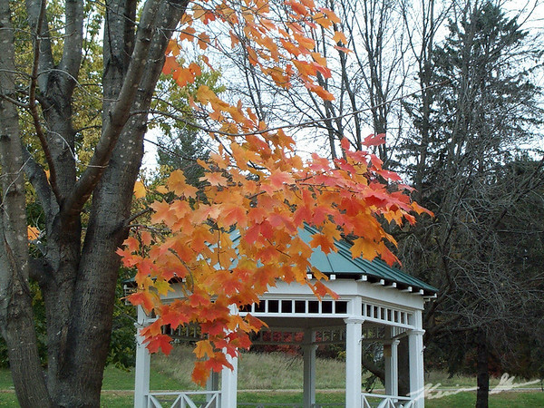 Maple tree peaking in the town square