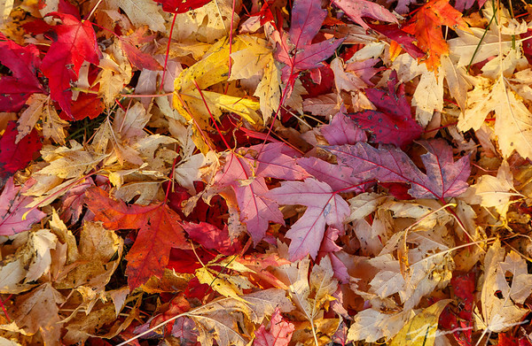 Newly fallen maple leaves form a blanket on the ground