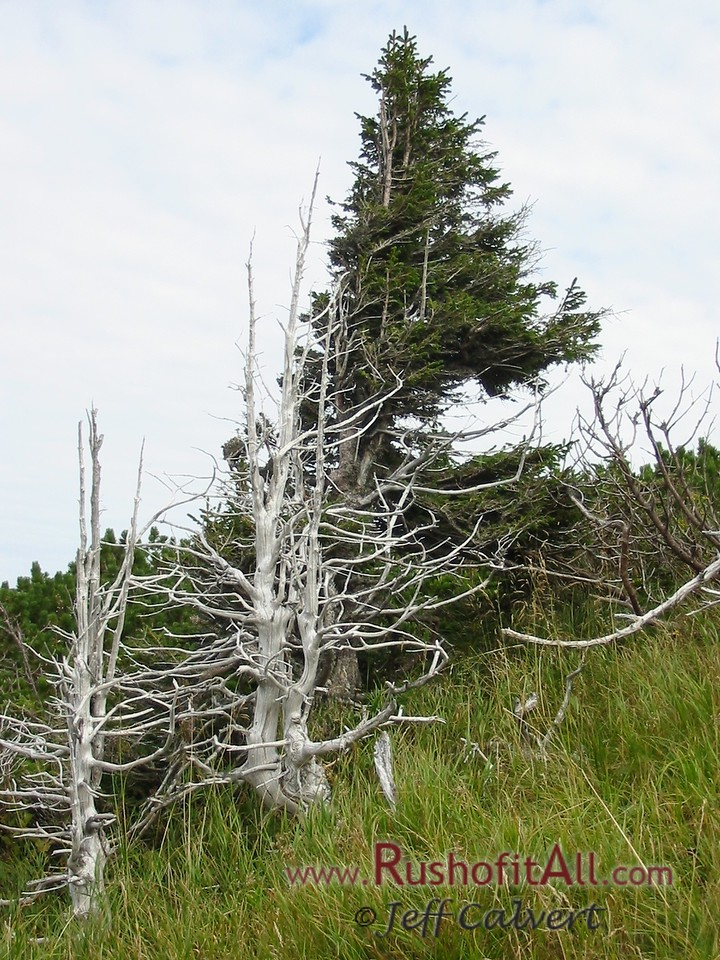 On trail from Zipfelsalpe to Bschieser - unidentified pine tree.