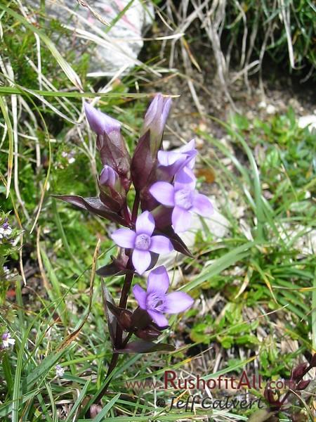 On trail from Bschieser to Ponten - unidentified flower.