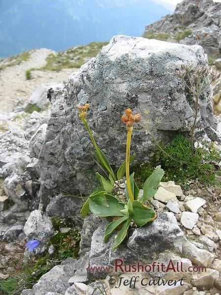 Unidentifeid flower on Ponten.