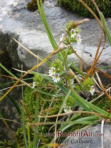 On trail from Zipfelsalpe to Bschieser - unidentified plants, flower, moss, grass.