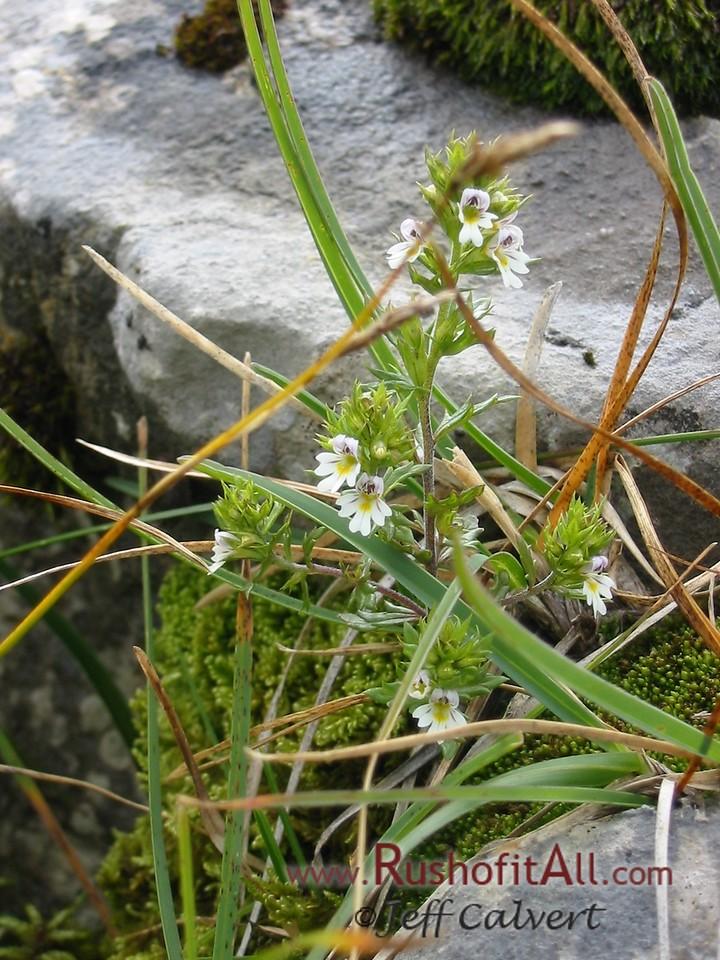 On trail from Zipfelsalpe to Bschieser - unidentified plants, flower, moss, grass.