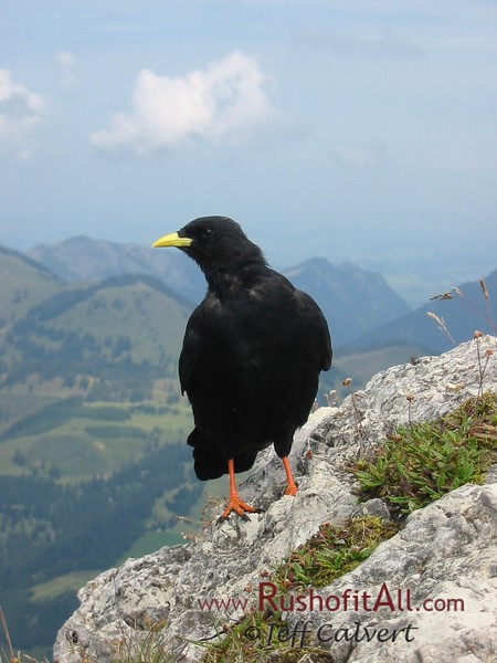Alpine chough on Ponten summit.