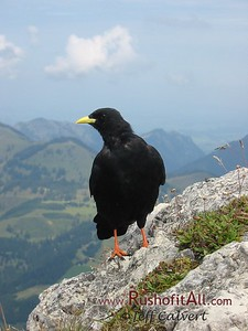 Alpine chough on Ponten summit.