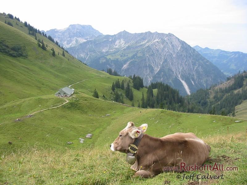 Cows (Brown Swiss?) at Zipfelsalpe.