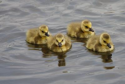 Goslings, taken at the University of Oklahoma Duck Pond