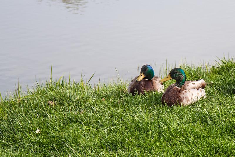 Ducks at Cox