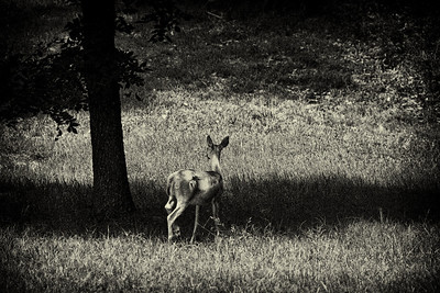 White Tail Deer.  This was a boring, slightly out of focus shot with drab color that was almost deleted.  I cropped it heavily, converted to black and white shot emulating high ISO film with heavy grain then slightly toned.  I ended up really liking the result and is now one of my favorites