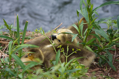 Goslings-Taken at the University of Oklahoma Duck Pond