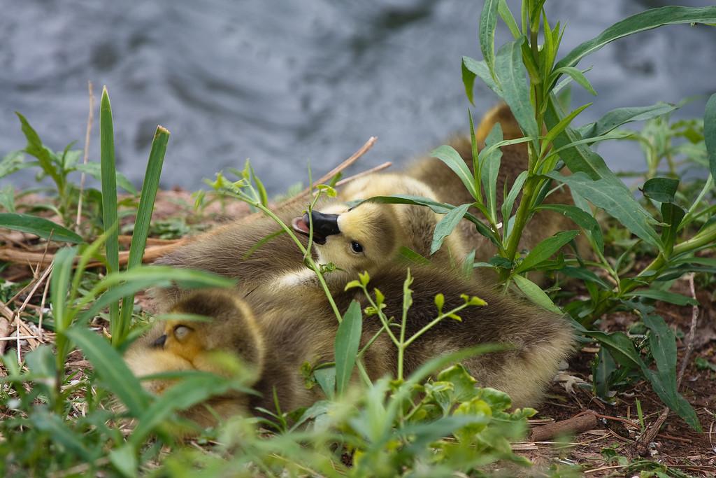 Goslings-Taken at the University of Oklahoma Duck Pond