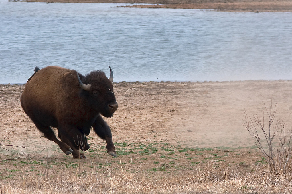 American Bison-12
