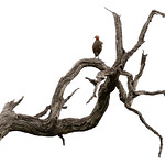 A red-necked francolin perches atop the gnarled branch of a dead tree.