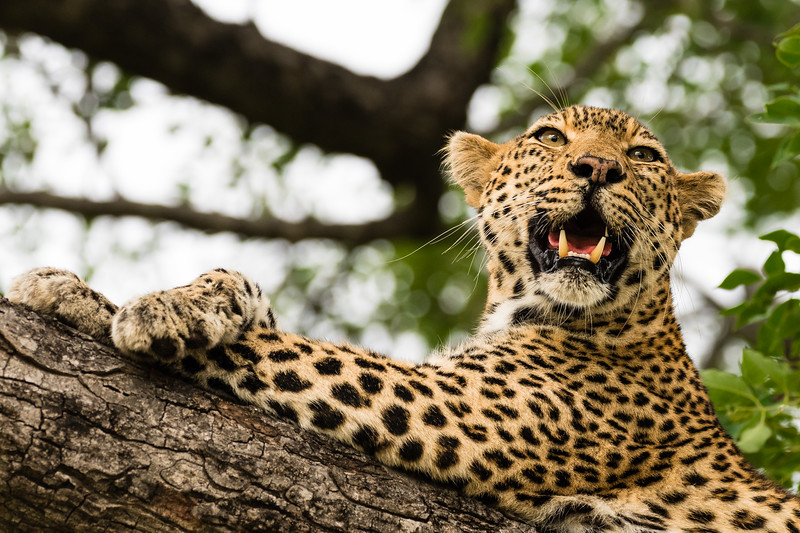 A leopard wakes from its afternoon rest high in a tree in Kruger NP.
