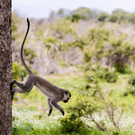 A male vervet monkey leaps gracefully down from his perch.