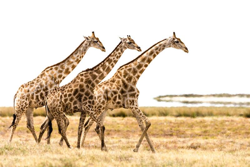 A trio of giraffes trek stolidly along the Etosha pan.