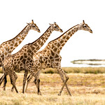 A trio of giraffes trek stolidly along the Etosha pan.