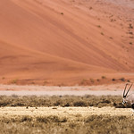 A gemsbok walks beneath the towering dunes of the Namib desert.