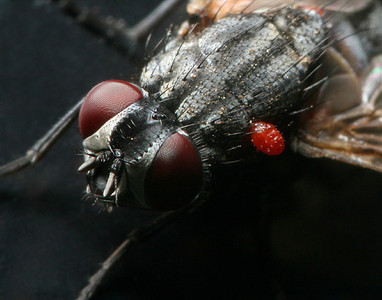 Mites On A Fly