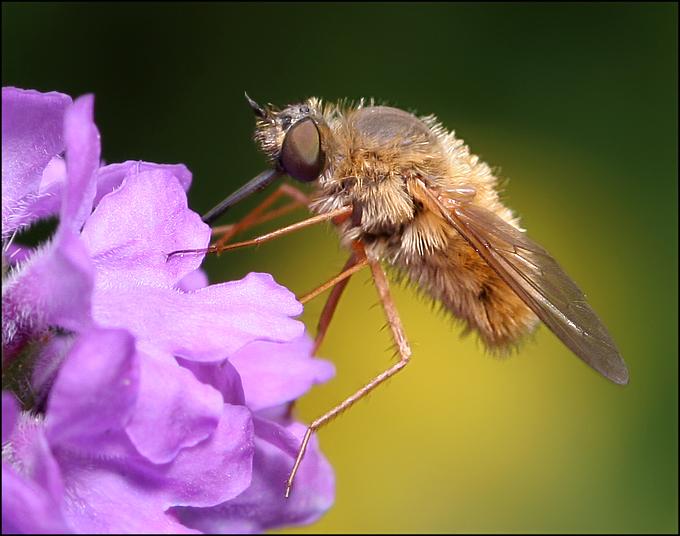 Tiny Furry Fly